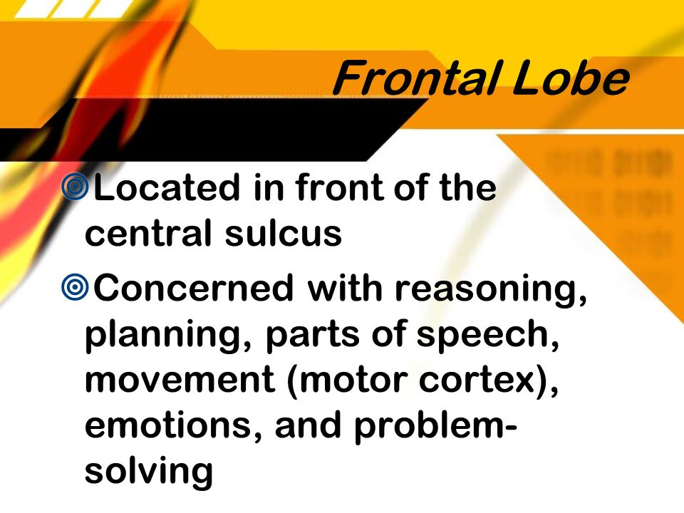 Frontal Lobe Located in front of the central sulcus Concerned with reasoning, planning, parts of speech, movement (motor cortex), emotions, and proble