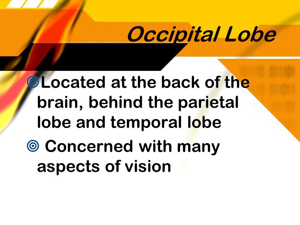 Occipital Lobe Located at the back of the brain, behind the parietal lobe and temporal lobe Concerned with many aspects of vision Located at the back