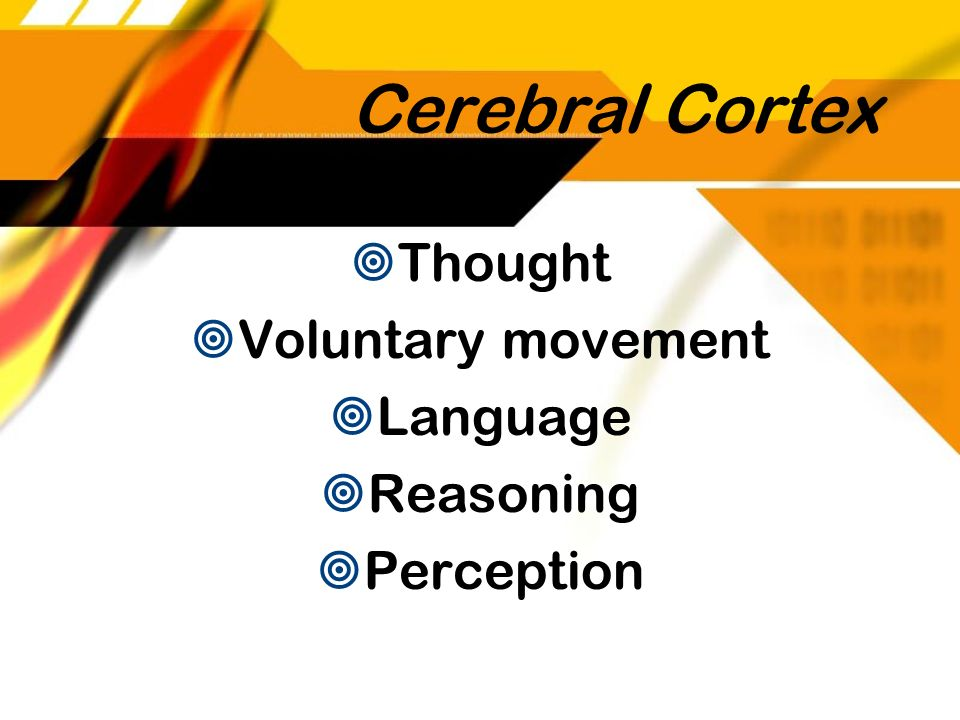 Cerebral Cortex Thought Voluntary movement Language Reasoning Perception Thought Voluntary movement Language Reasoning Perception
