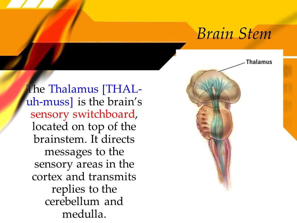 Brain Stem The Thalamus [THAL- uh-muss] is the brains sensory switchboard, located on top of the brainstem. It directs messages to the sensory areas i