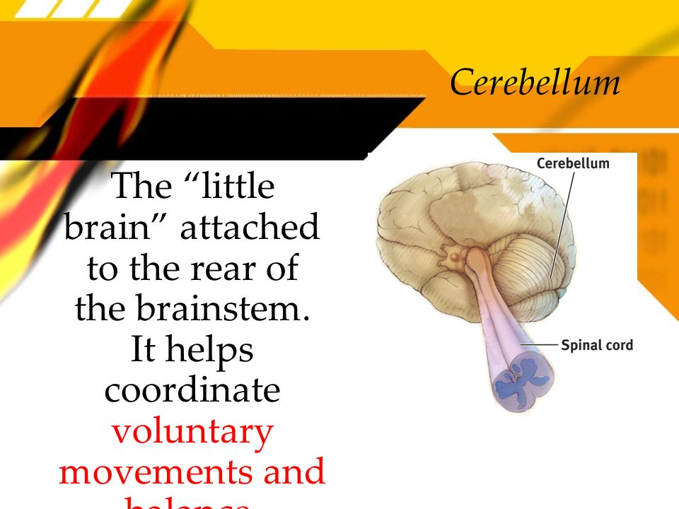 The little brain attached to the rear of the brainstem. It helps coordinate voluntary movements and balance. Cerebellum