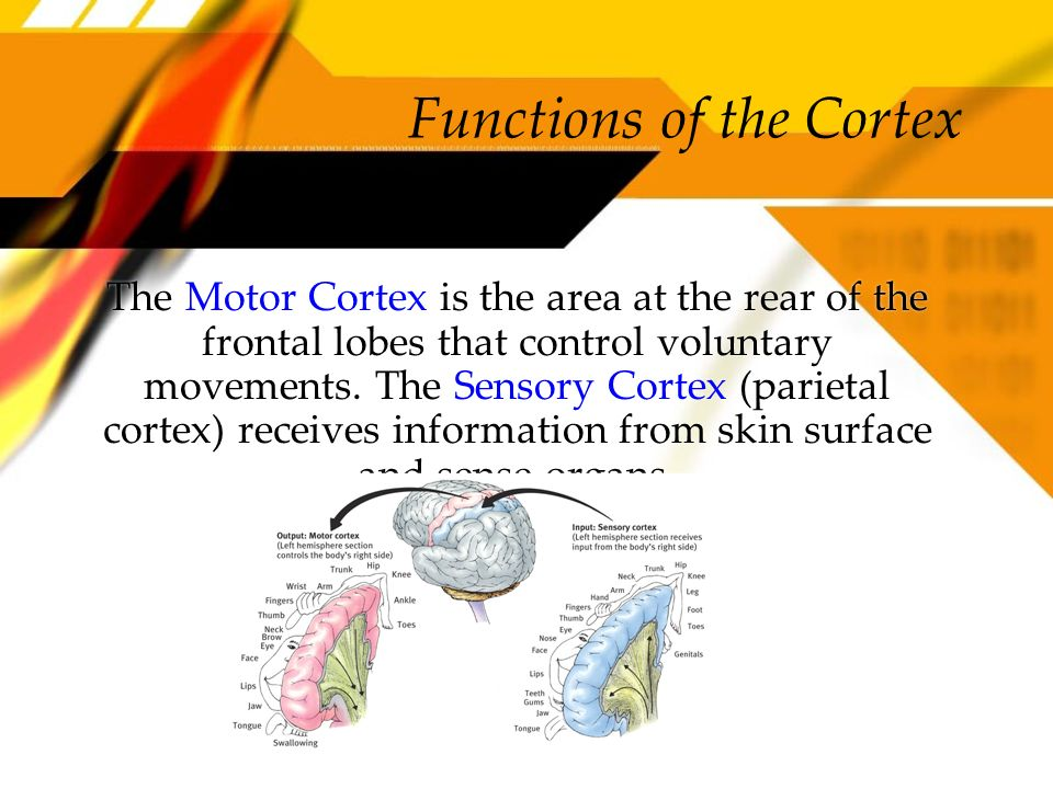 Functions of the Cortex The Motor Cortex is the area at the rear of the frontal lobes that control voluntary movements. The Sensory Cortex (parietal c
