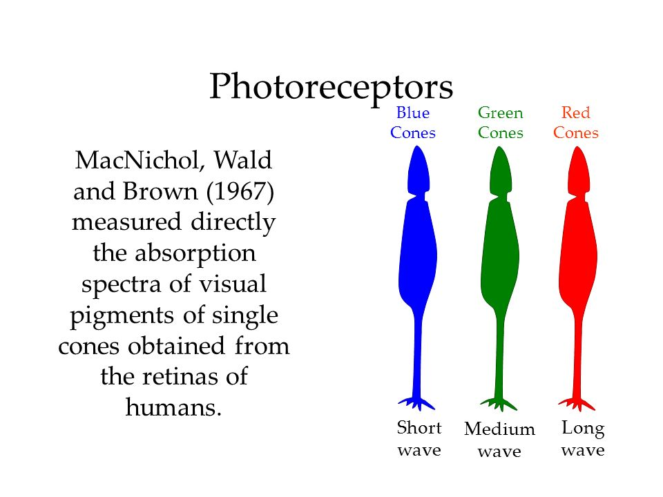 Photoreceptors Red Cones Green Cones Long wave Medium wave Short wave MacNichol, Wald and Brown (1967) measured directly the absorption spectra of vis