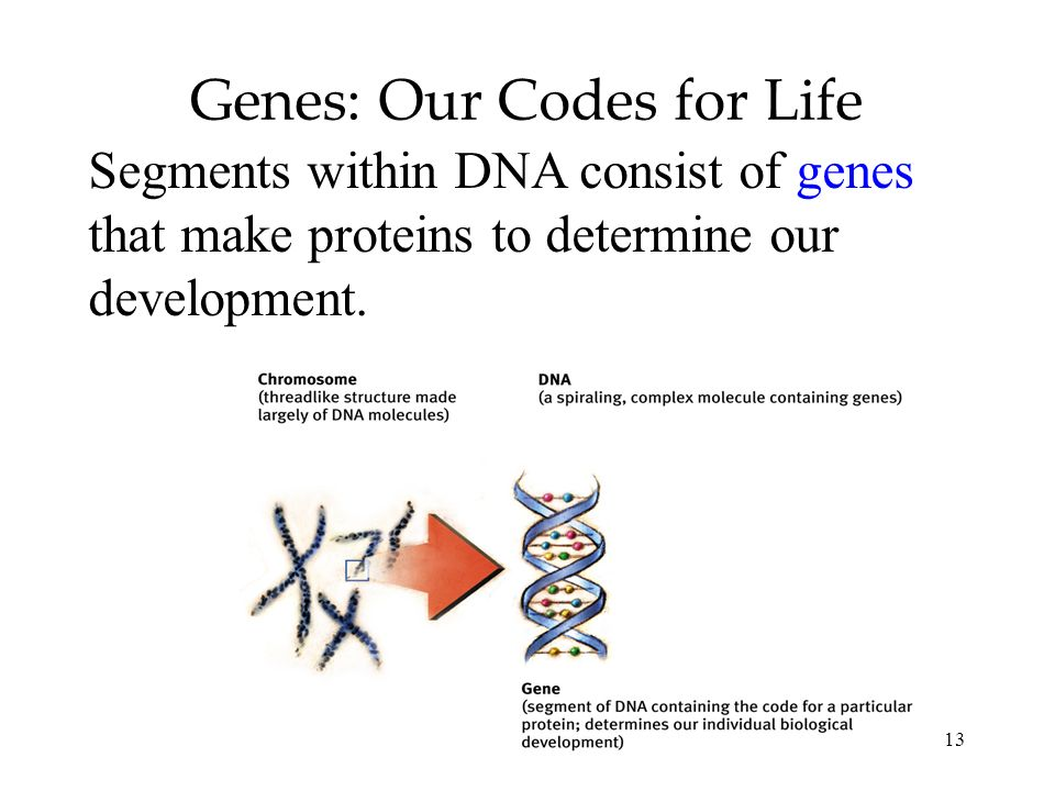 13 Genes: Our Codes for Life Segments within DNA consist of genes that make proteins to determine our development.