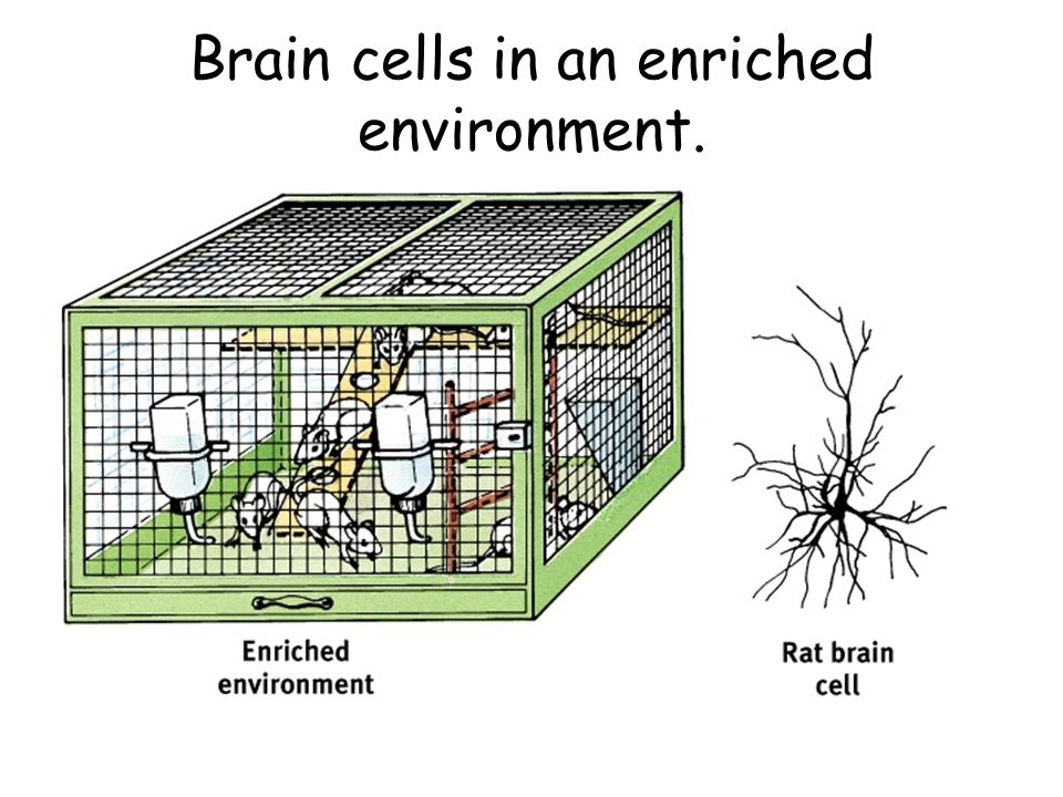 Brain cells in an enriched environment.