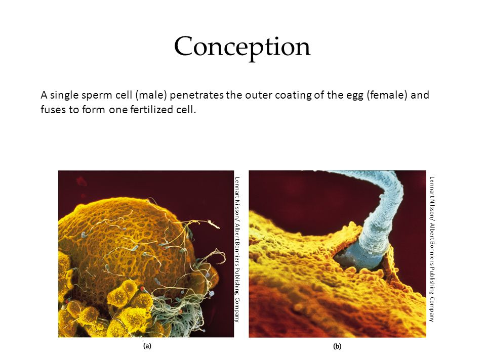 Prenatal Development A zygote is a fertilized cell with 100 cells that become increasingly diverse.
