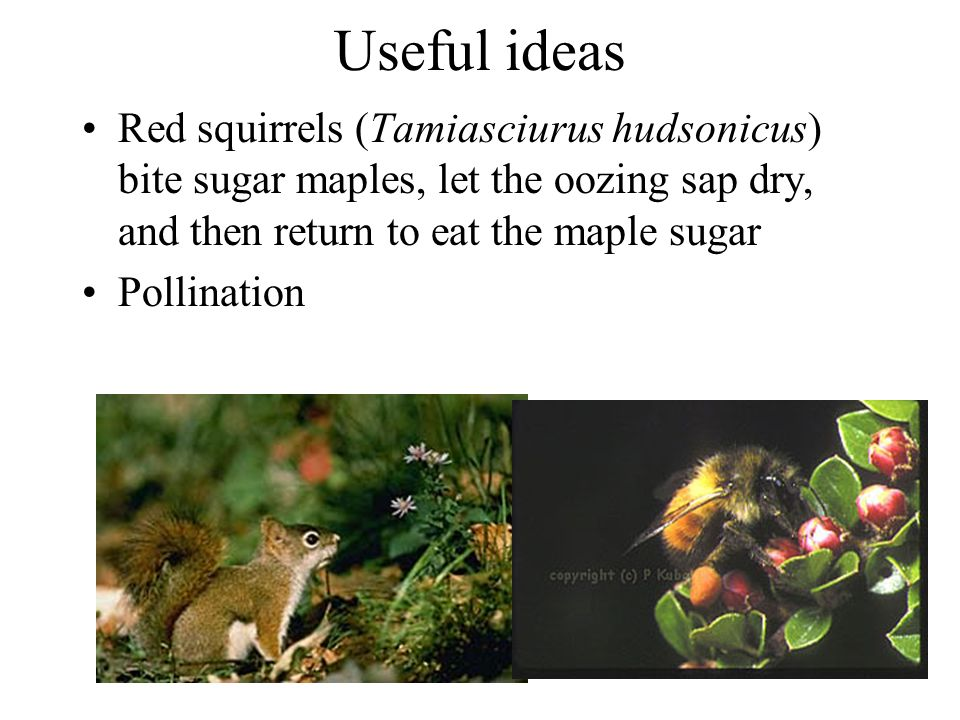 Useful ideas Red squirrels (Tamiasciurus hudsonicus) bite sugar maples, let the oozing sap dry, and then return to eat the maple sugar Pollination