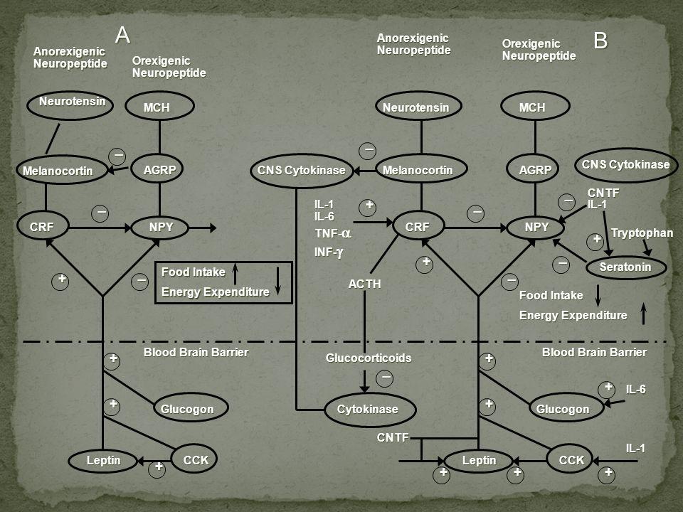 AnorexigenicNeuropeptide Neurotensin Melanocortin CRF OrexigenicNeuropeptide Glucogon CCKLeptin Blood Brain Barrier NPY AGRP MCHNeurotensin Melanocort