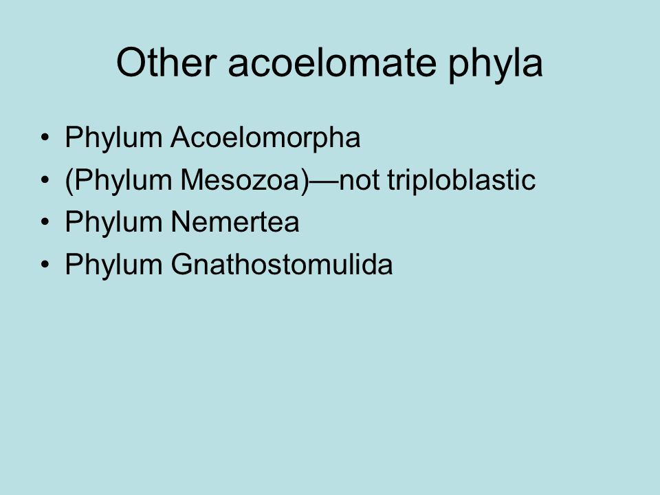 Other acoelomate phyla Phylum Acoelomorpha (Phylum Mesozoa)not triploblastic Phylum Nemertea Phylum Gnathostomulida
