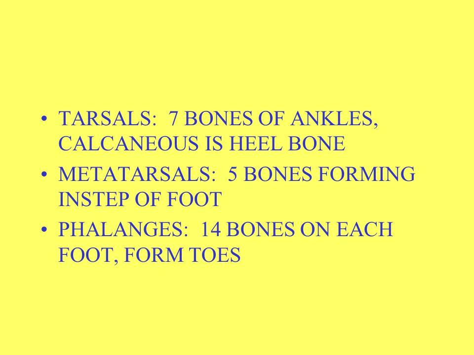 BONES OF LEG FEMUR: THIGH BONE PATELLA: KNEECAP TIBIA: LONG SUPPORTING BONE OF LOWER LEG FIBULA: SMALLER BONE OF LOWER LEG
