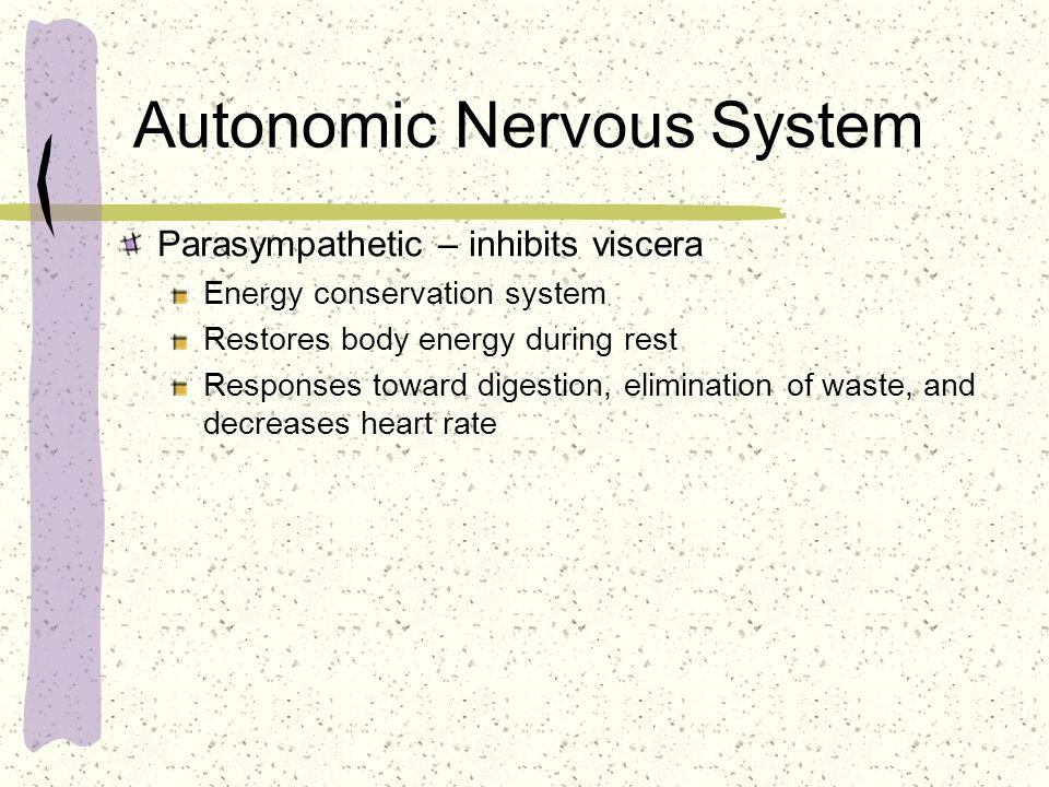 Autonomic Nervous System Parasympathetic – inhibits viscera Energy conservation system Restores body energy during rest Responses toward digestion, el