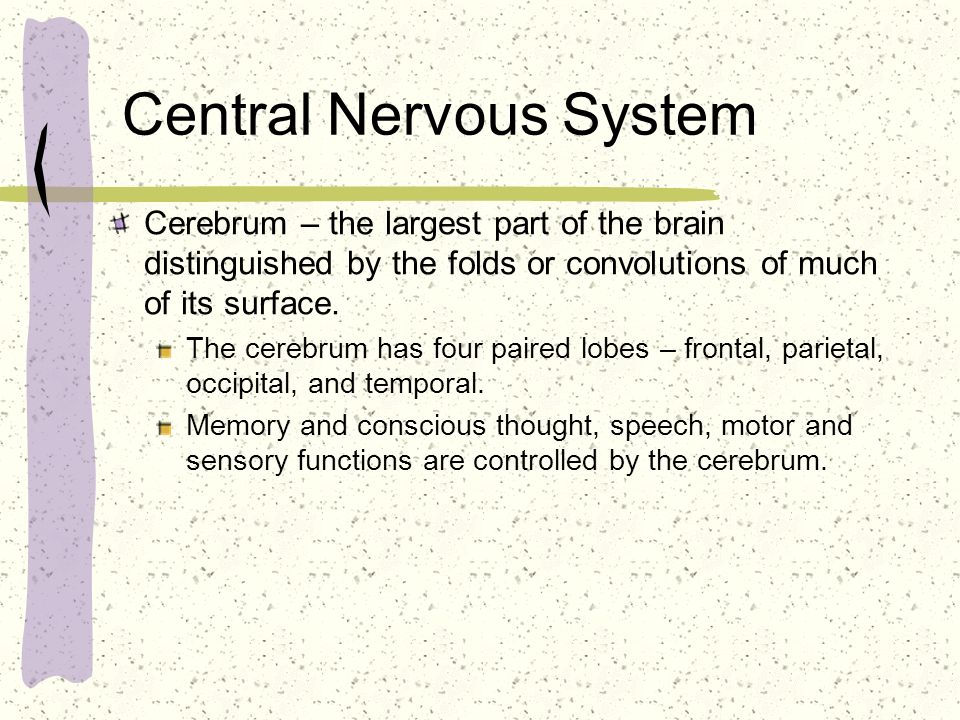 Central Nervous System Cerebrum – the largest part of the brain distinguished by the folds or convolutions of much of its surface. The cerebrum has fo