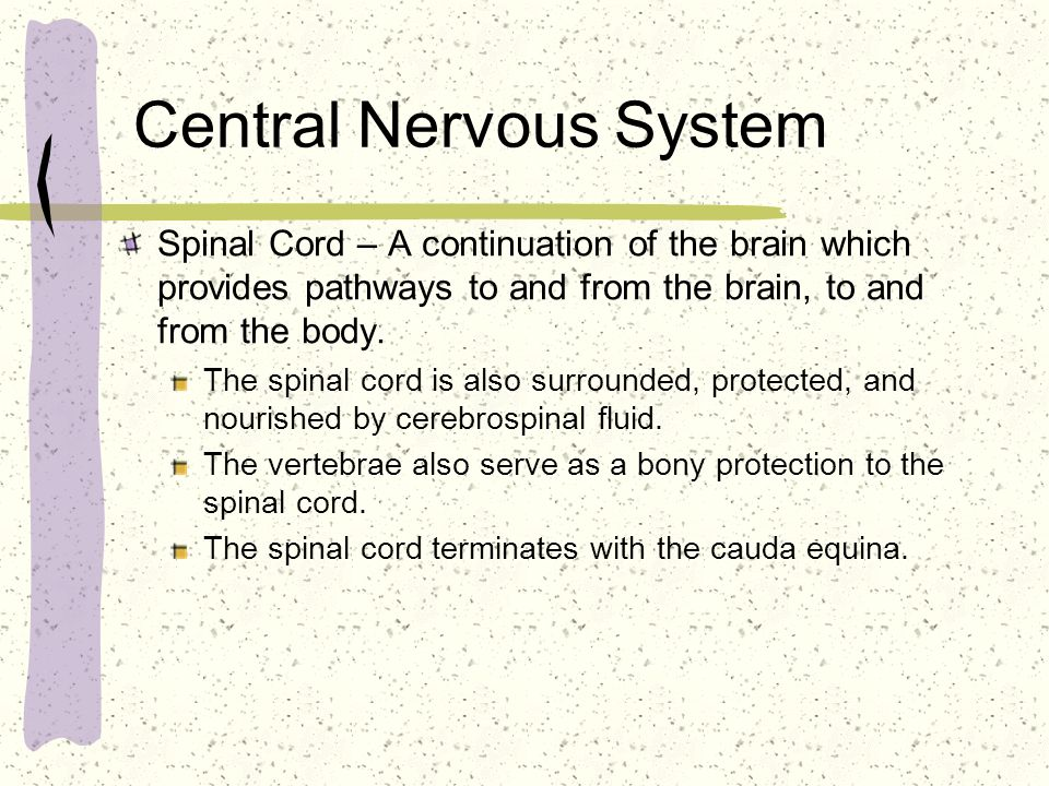 Central Nervous System Spinal Cord – A continuation of the brain which provides pathways to and from the brain, to and from the body. The spinal cord