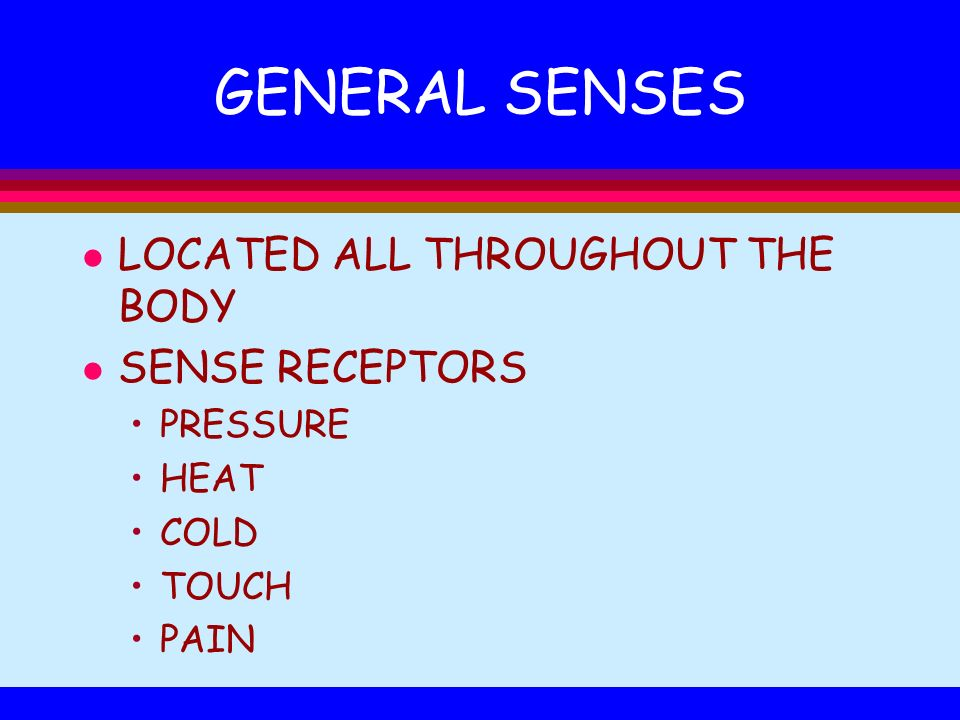GENERAL SENSES l LOCATED ALL THROUGHOUT THE BODY l SENSE RECEPTORS PRESSURE HEAT COLD TOUCH PAIN