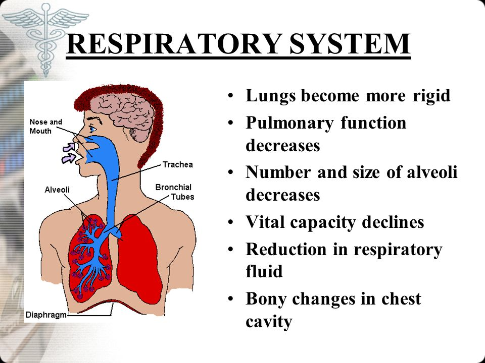 RESPIRATORY SYSTEM Lungs become more rigid Pulmonary function decreases Number and size of alveoli decreases Vital capacity declines Reduction in resp