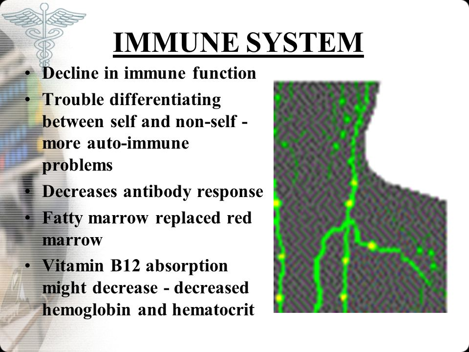 IMMUNE SYSTEM Decline in immune function Trouble differentiating between self and non-self - more auto-immune problems Decreases antibody response Fat