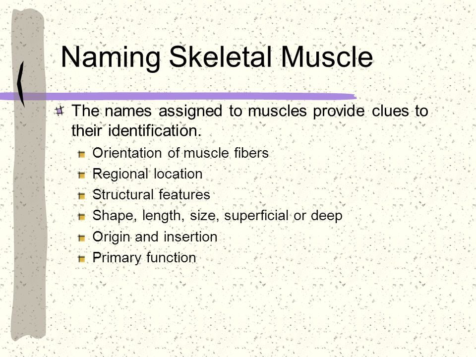 Naming Skeletal Muscle The names assigned to muscles provide clues to their identification. Orientation of muscle fibers Regional location Structural