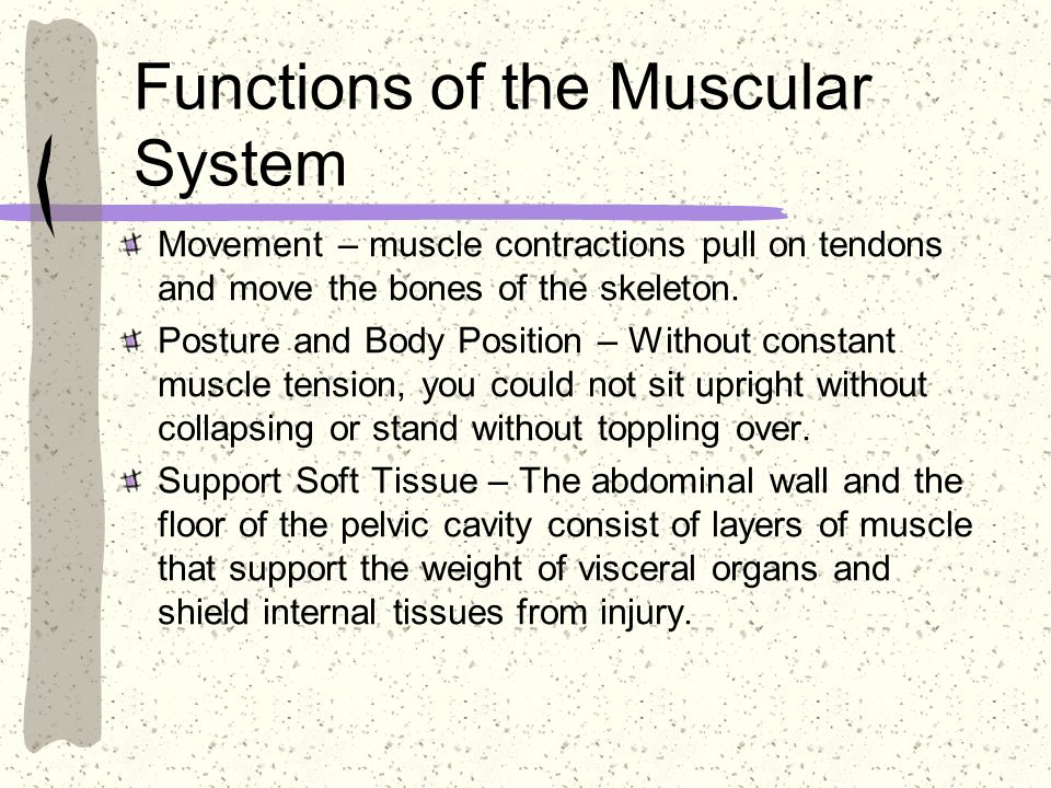 Functions of the Muscular System Movement – muscle contractions pull on tendons and move the bones of the skeleton. Posture and Body Position – Withou