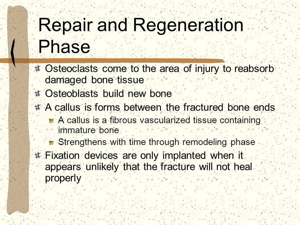 Repair and Regeneration Phase Osteoclasts come to the area of injury to reabsorb damaged bone tissue Osteoblasts build new bone A callus is forms betw