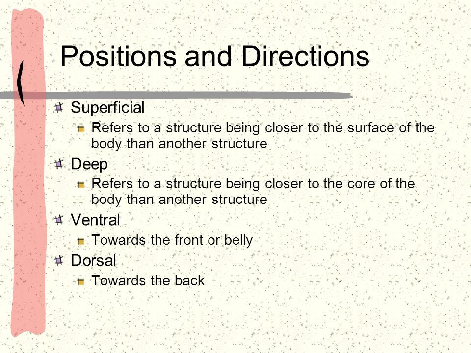 Positions and Directions Superficial Refers to a structure being closer to the surface of the body than another structure Deep Refers to a structure b