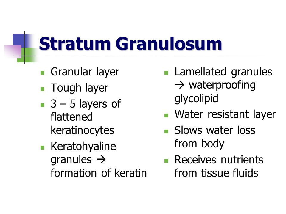 Stratum Granulosum Granular layer Tough layer 3 – 5 layers of flattened keratinocytes Keratohyaline granules formation of keratin Lamellated granules