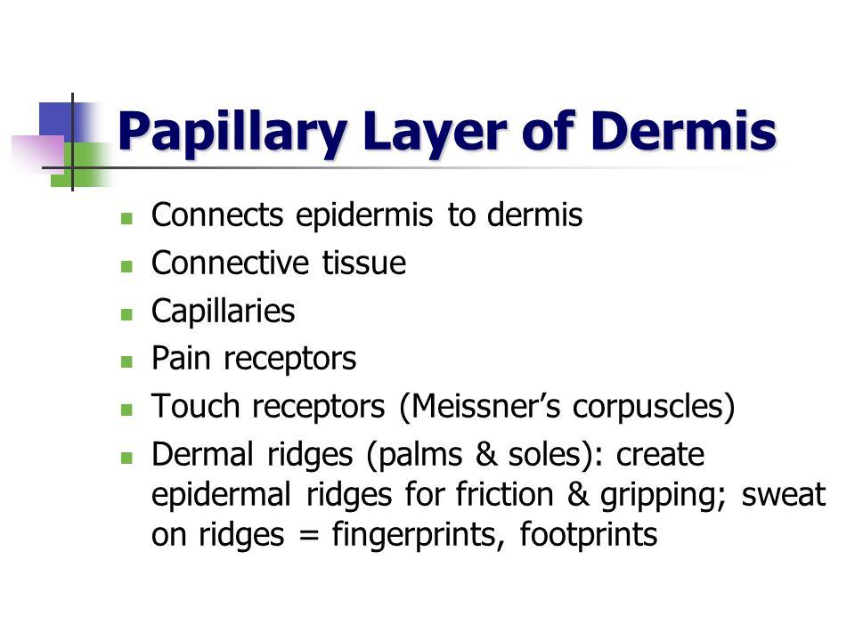 Papillary Layer of Dermis Connects epidermis to dermis Connective tissue Capillaries Pain receptors Touch receptors (Meissners corpuscles) Dermal ridg