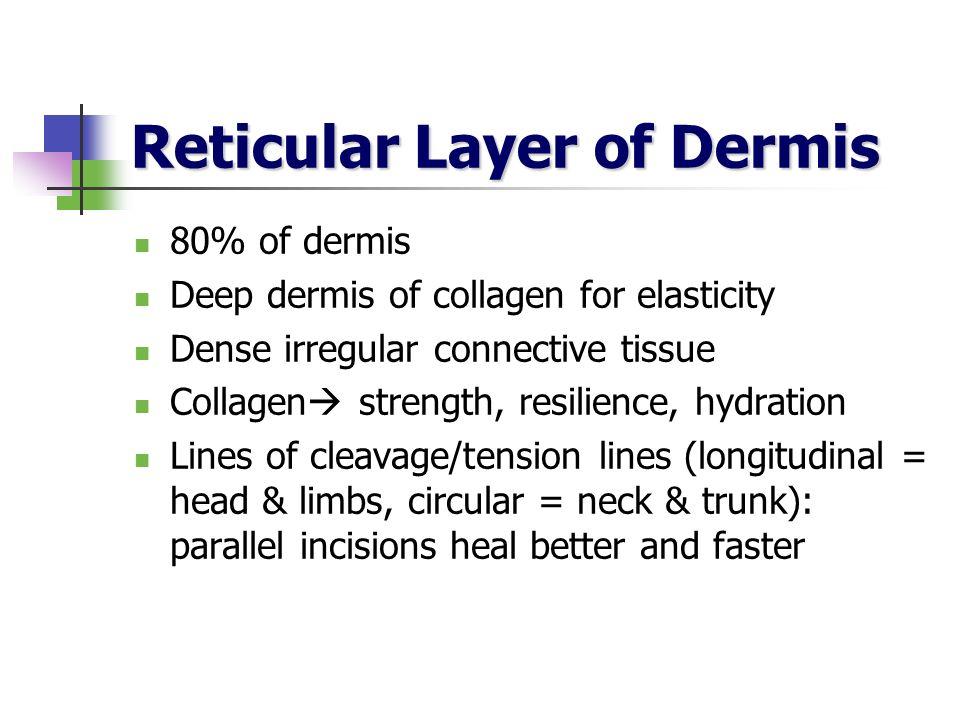 Reticular Layer of Dermis 80% of dermis Deep dermis of collagen for elasticity Dense irregular connective tissue Collagen strength, resilience, hydrat