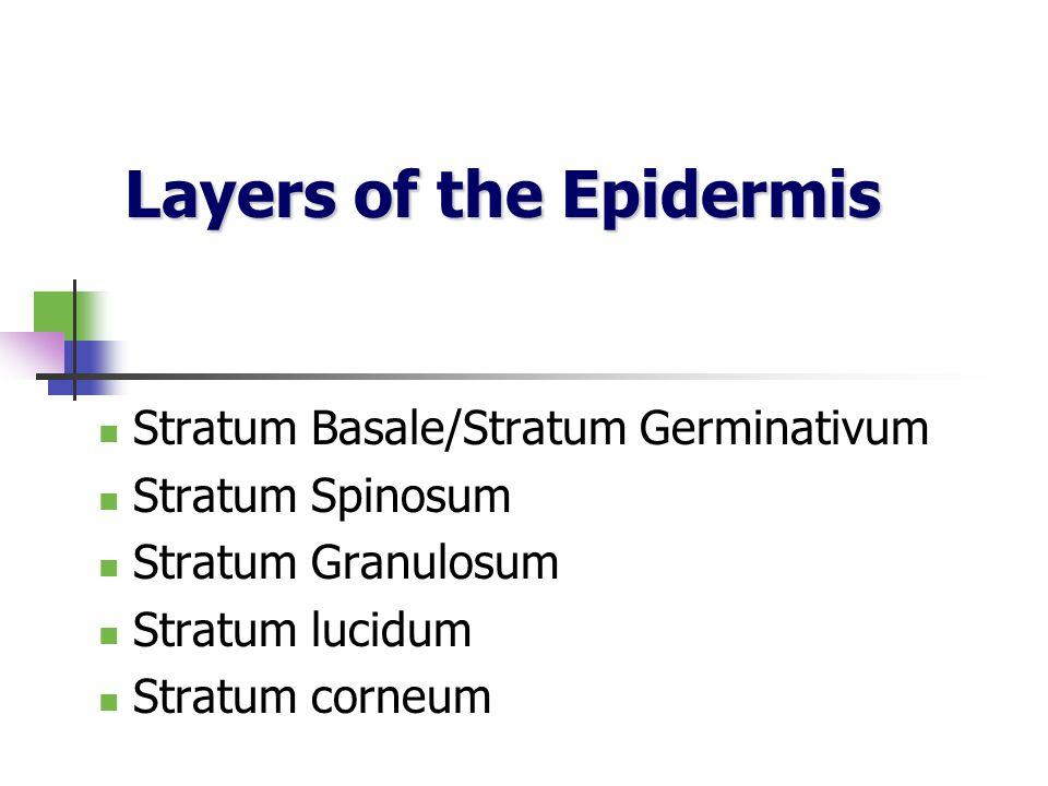 Layers of the Epidermis Stratum Basale/Stratum Germinativum Stratum Spinosum Stratum Granulosum Stratum lucidum Stratum corneum