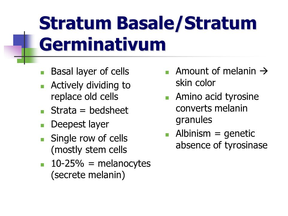 Stratum Basale/Stratum Germinativum Basal layer of cells Actively dividing to replace old cells Strata = bedsheet Deepest layer Single row of cells (m