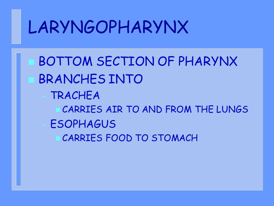 LARYNGOPHARYNX n BOTTOM SECTION OF PHARYNX n BRANCHES INTO – TRACHEA n CARRIES AIR TO AND FROM THE LUNGS – ESOPHAGUS n CARRIES FOOD TO STOMACH