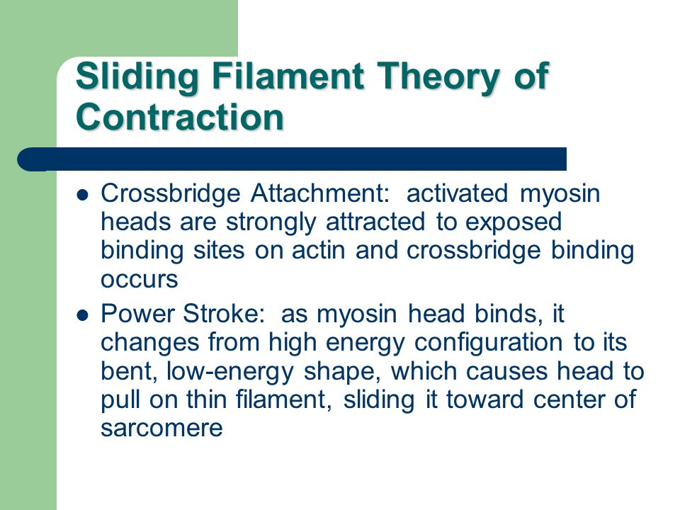 Sliding Filament Theory of Contraction Crossbridge Attachment: activated myosin heads are strongly attracted to exposed binding sites on actin and cro