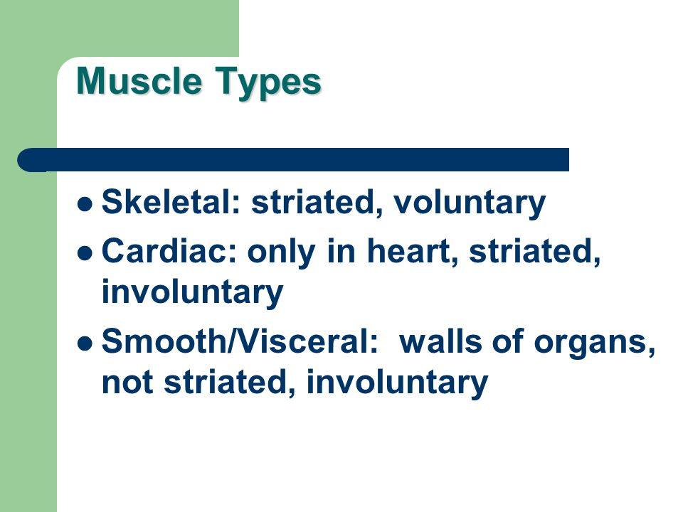 Muscle Types Skeletal: striated, voluntary Cardiac: only in heart, striated, involuntary Smooth/Visceral: walls of organs, not striated, involuntary