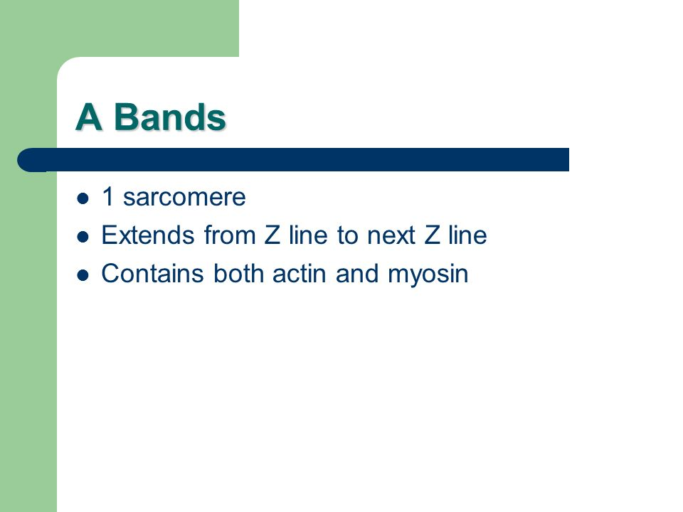 A Bands 1 sarcomere Extends from Z line to next Z line Contains both actin and myosin