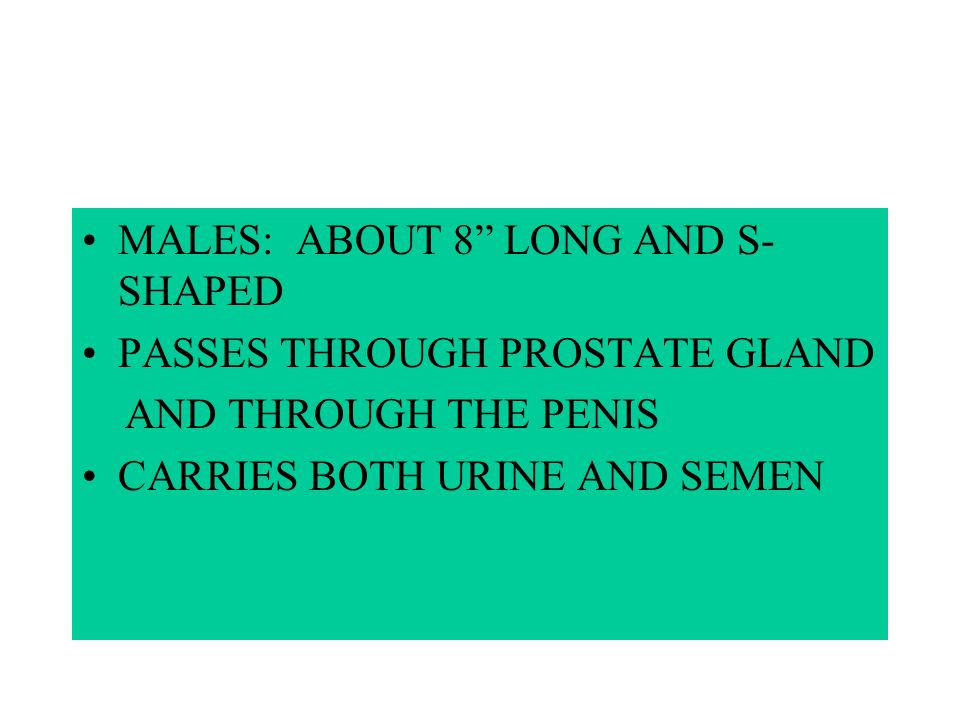 FEMALES: URETHRA ABOUT 1 1/2 LONG OPENS IN FRONT OF VAGINA CARRIES ONLY URINE