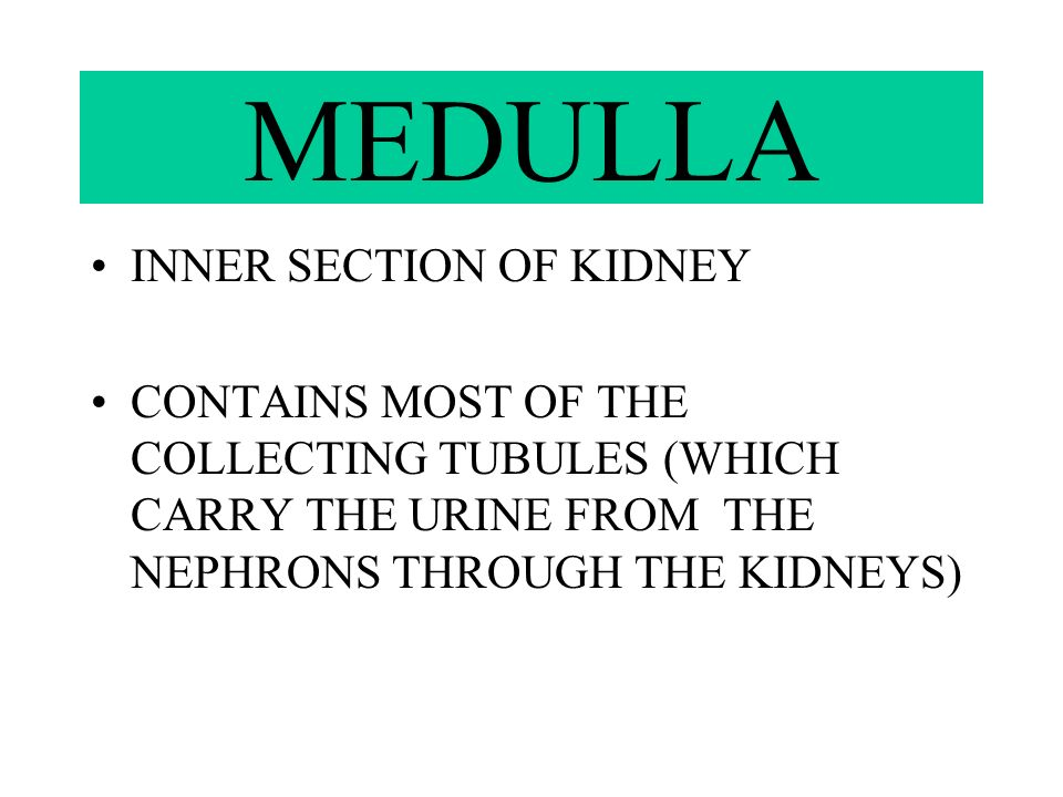 CORTEX OUTER SECTION OF KIDNEY CONTAINS MOST OF THE NEPHRONS (WHICH AID IN PRODUCTION OF URINE)