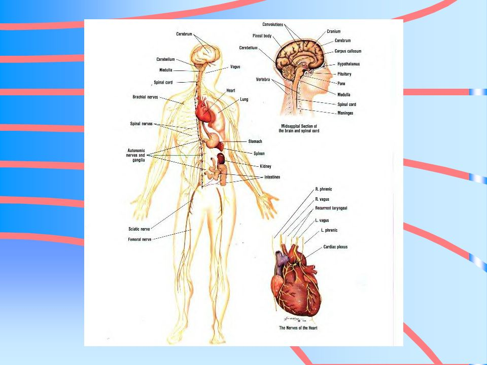 MYOCARDIUM Thickest layer muscular middle layer