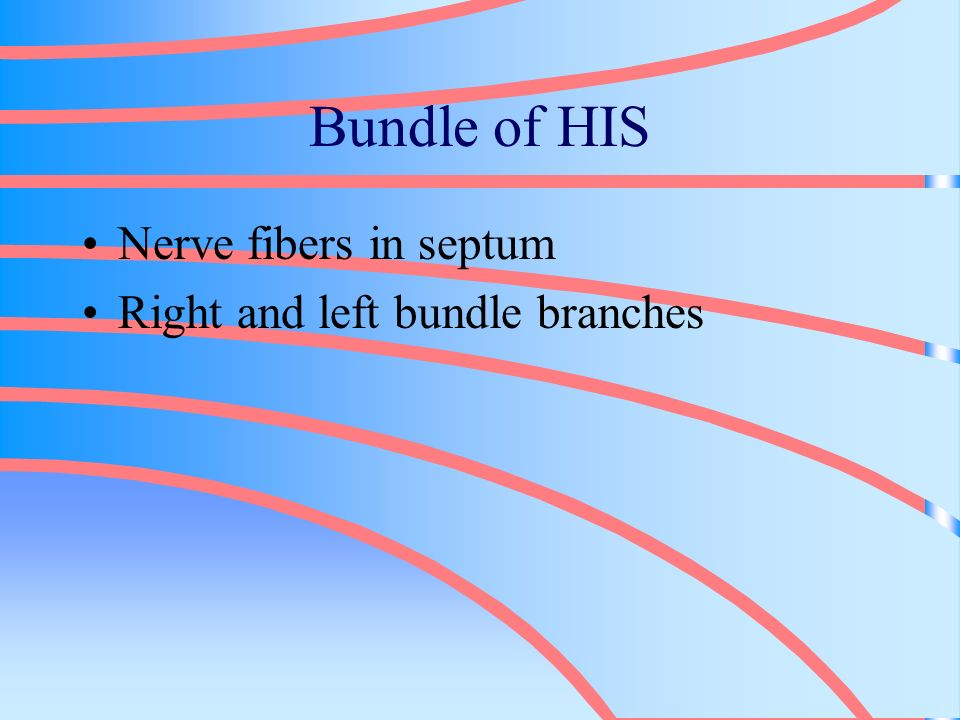 Bundle of HIS Nerve fibers in septum Right and left bundle branches