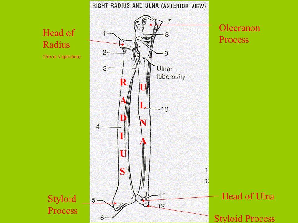RADIUSRADIUS ULNAULNA Head of Radius (Fits in Capitulum) Styloid Process Olecranon Process Head of Ulna Styloid Process