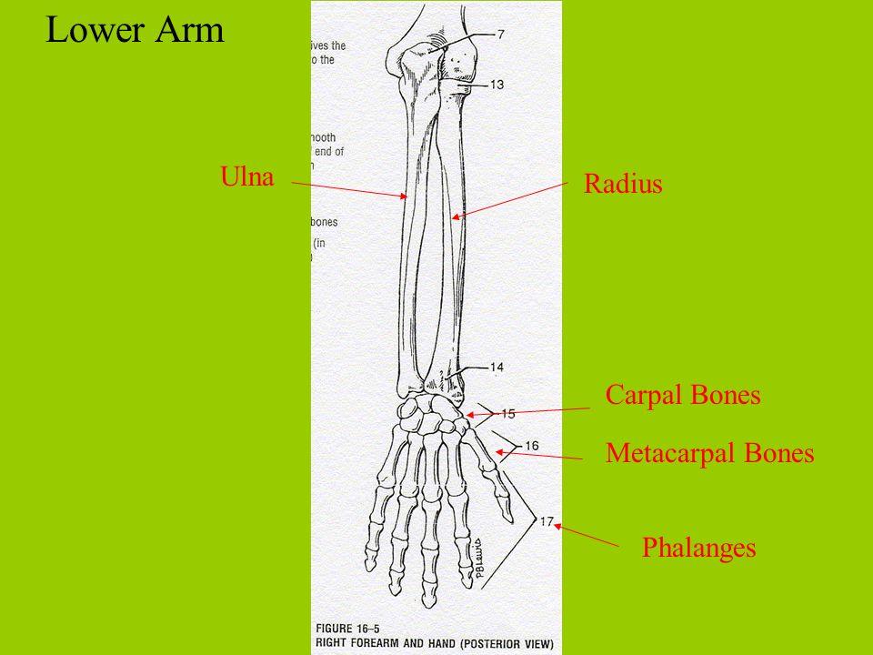Lower Arm Ulna Radius Carpal Bones Metacarpal Bones Phalanges