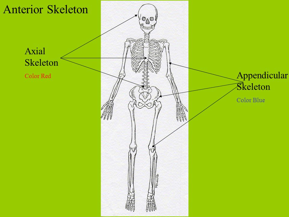 Axial Skeleton Color Red Appendicular Skeleton Color Blue Anterior Skeleton