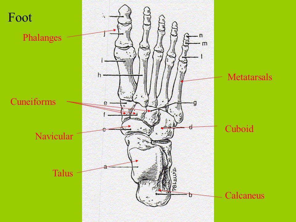 Foot Calcaneus Talus Navicular Cuboid Cuneiforms Metatarsals Phalanges