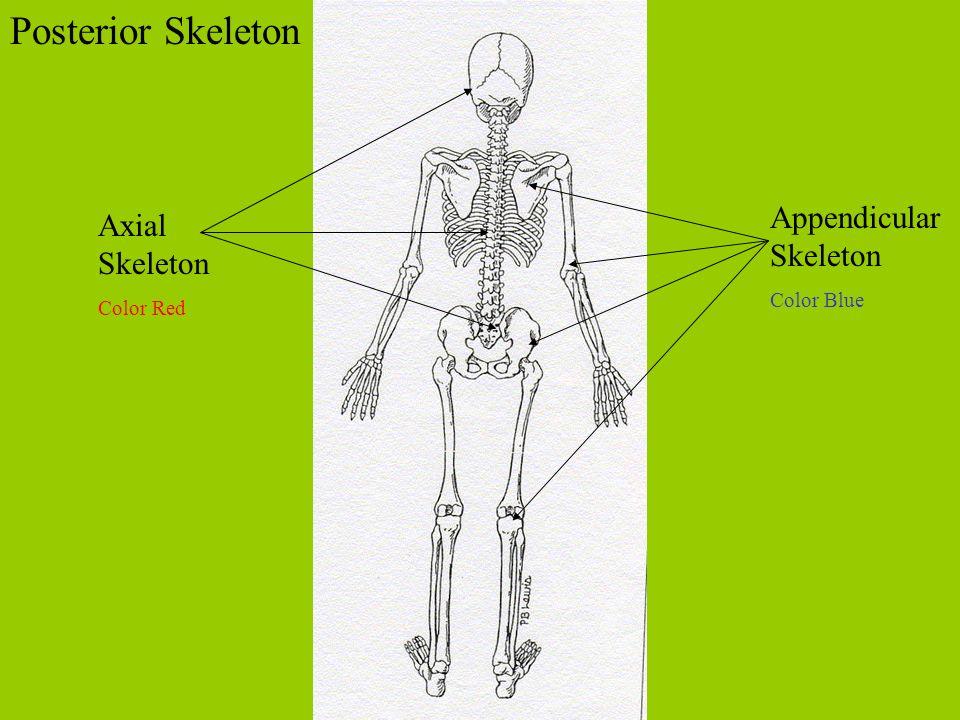 Posterior Skeleton Axial Skeleton Color Red Appendicular Skeleton Color Blue