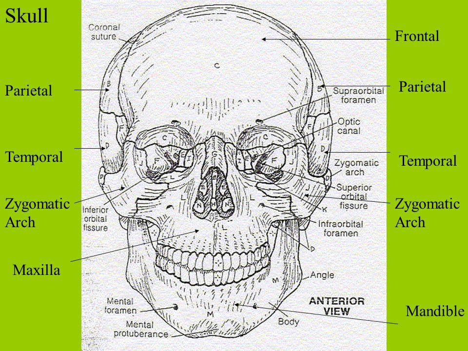 Skull Frontal Parietal Temporal Zygomatic Arch Maxilla Mandible