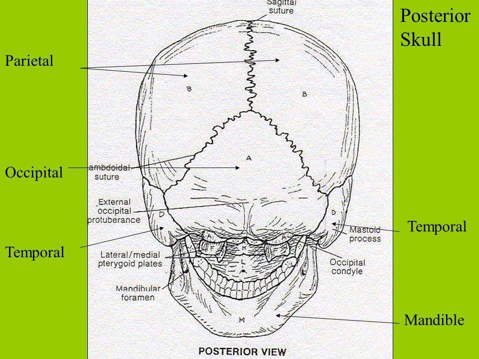 Parietal Occipital Temporal Mandible Posterior Skull