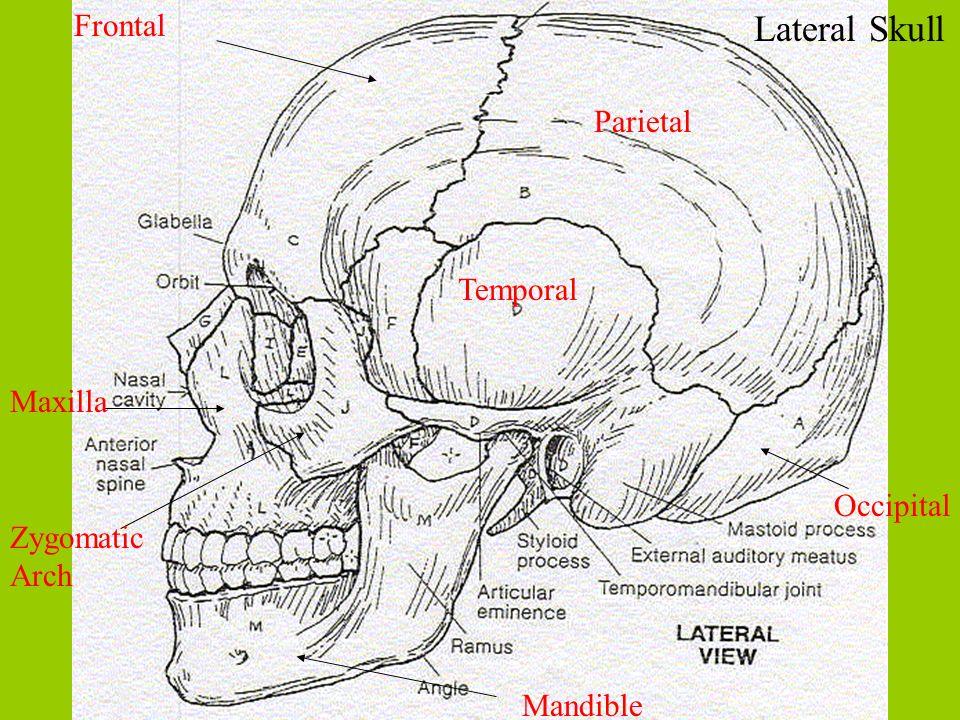 Lateral Skull Frontal Parietal Temporal Occipital Maxilla Zygomatic Arch Mandible