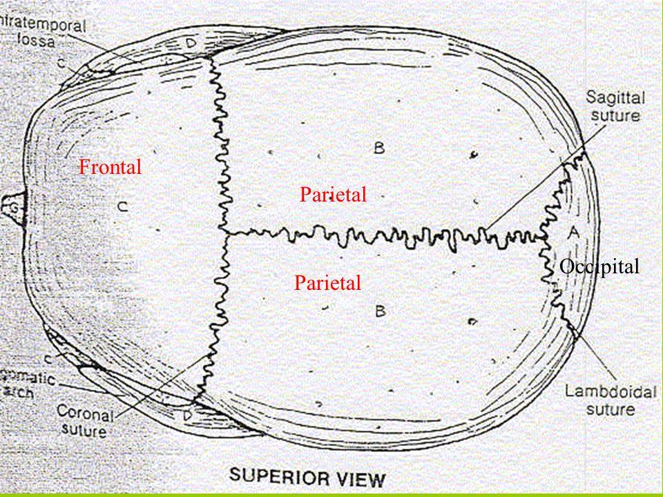 Frontal Parietal Occipital