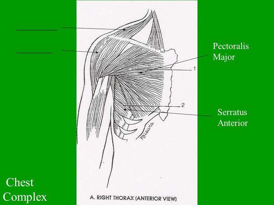 Chest Complex _________ ________ Pectoralis Major Serratus Anterior
