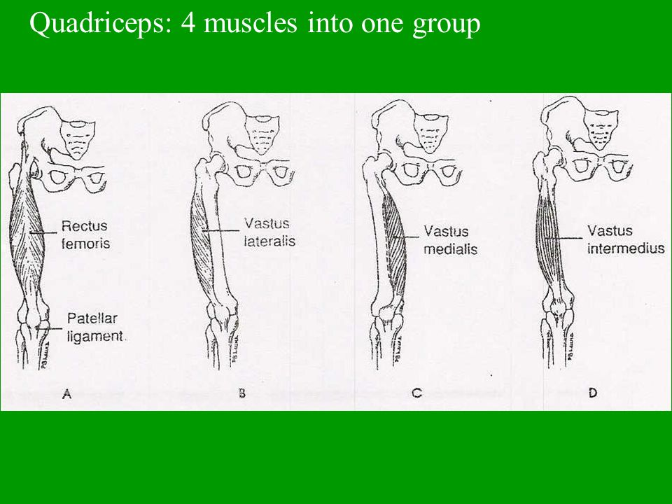 Quadriceps: 4 muscles into one group