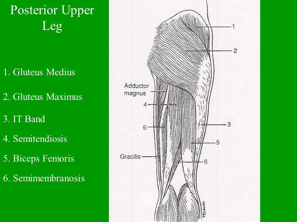 Posterior Upper Leg 1. Gluteus Medius 2. Gluteus Maximus 3. IT Band 4. Semitendiosis 5. Biceps Femoris 6. Semimembranosis