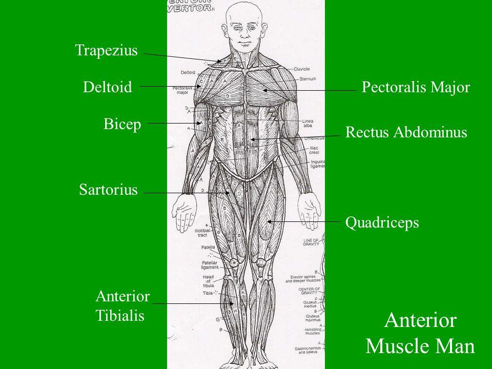 Trapezius DeltoidPectoralis Major Bicep Rectus Abdominus Sartorius Quadriceps Anterior Tibialis Anterior Muscle Man